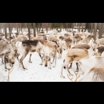 Finnish Lapland with Helsinki and Stockholm 11 days/10 nights 17
